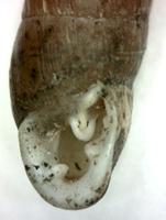 C. tridens martynovi. Фотография 35