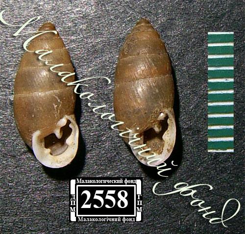Chondrula tridens. Фотография 36