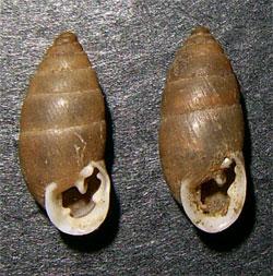 Моллюск декабря среди наземных моллюсков - Chondrula tridens (2014 р.)