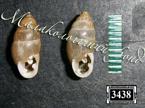 Chondrula tridens. Фотография 37