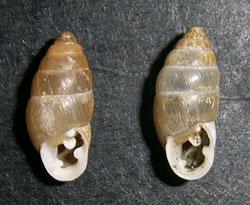 Chondrula tridens. Фотография 38