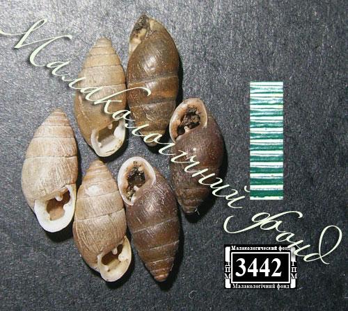 Chondrula tridens. Фотография 39