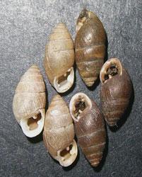 C. tridens. Фотография 40