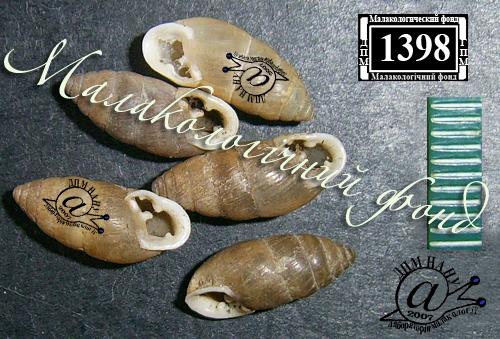 Chondrula tridens. Фотография 18