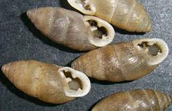 Моллюск февраля среди наземных моллюсков - Chondrula tridens  (2013 р.)