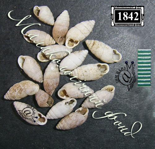 Chondrula tridens. Фотография 20