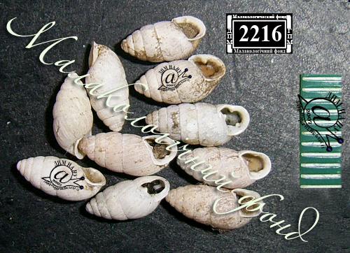 Chondrula tridens. Фотография 26
