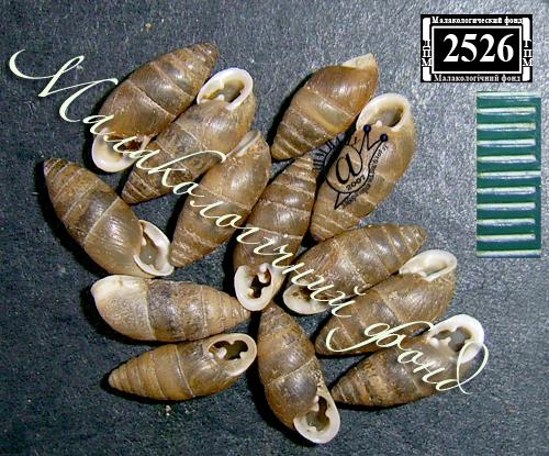 Chondrula tridens. Фотография 28