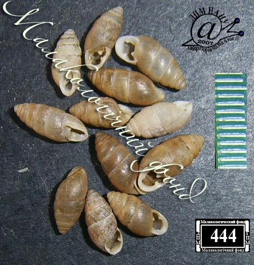 Chondrula tridens. Фотография 15