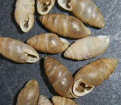 C. tridens. Фотография 16