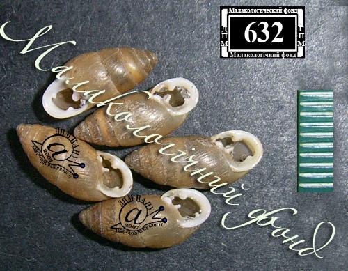 Chondrula tridens. Фотография 16