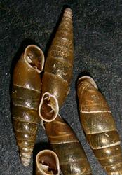C. laminata. Фотография 14