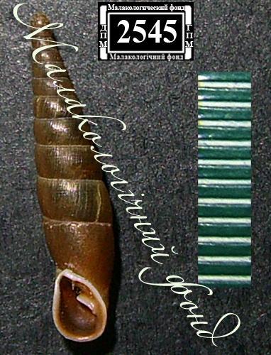 Cochlodina laminata. Фотография 15
