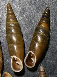 Cochlodina laminata (Montagu, 1803)