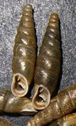 Cochlodina orthostoma (Menke, 1830)