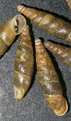 C. orthostoma. Фотография 6