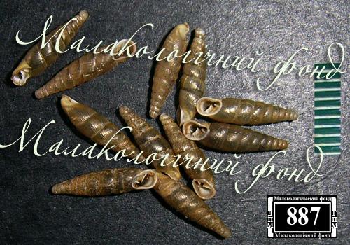 Cochlodina orthostoma. Фотография 3