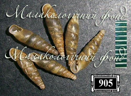 Cochlodina orthostoma. Фотография 5