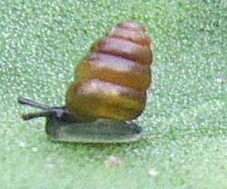 C. edentula. Фотография 4
