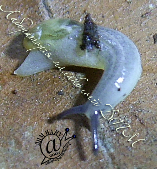 Daudebardia brevipes. Фотография 7