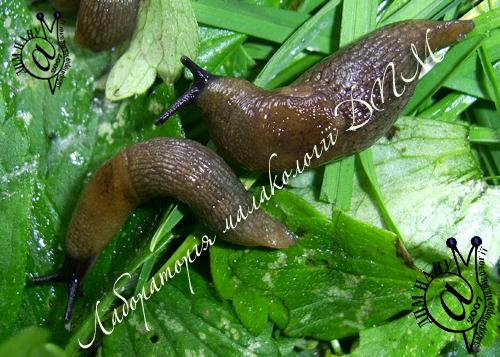 Deroceras caucasicum. Фотография 27