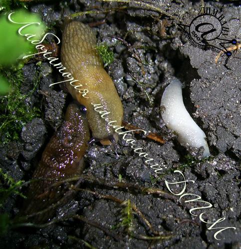 Deroceras caucasicum. Фотография 45
