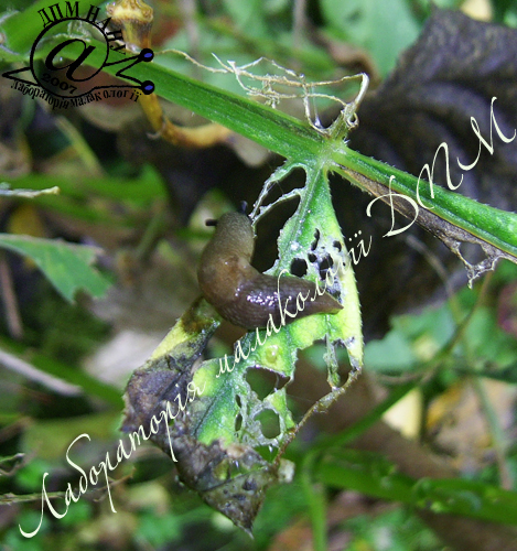 Deroceras caucasicum. Фотография 47