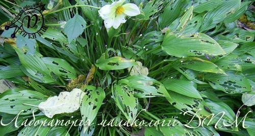 Deroceras caucasicum. Фотография 49