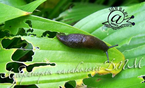 Deroceras caucasicum. Фотография 51