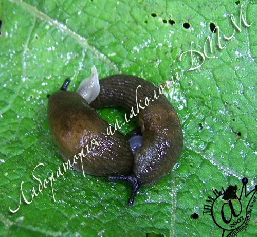 Deroceras caucasicum. Фотография 53
