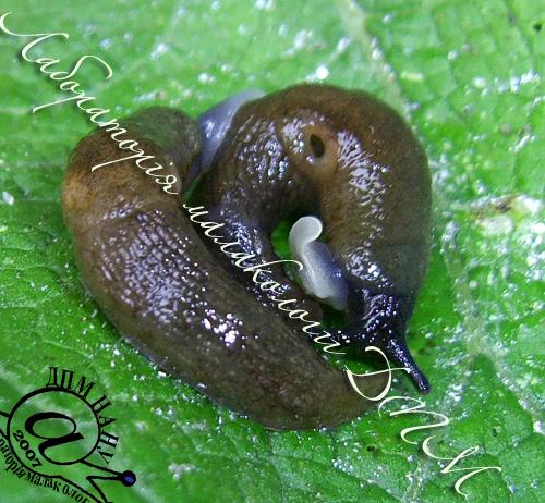 Deroceras caucasicum. Фотография 55