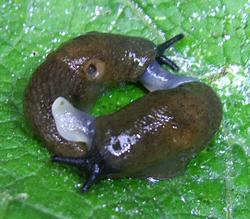 D. caucasicum. Фотография 60