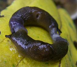 D. caucasicum. Фотография 64