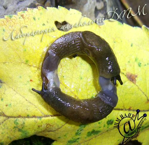 Deroceras caucasicum. Фотография 65