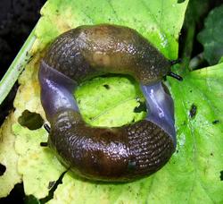 D. caucasicum. Фотография 68