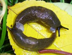 D. caucasicum. Фотография 70