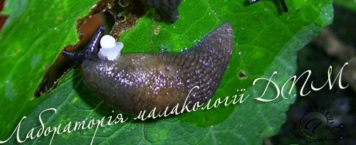 Deroceras caucasicum. Фотография 73