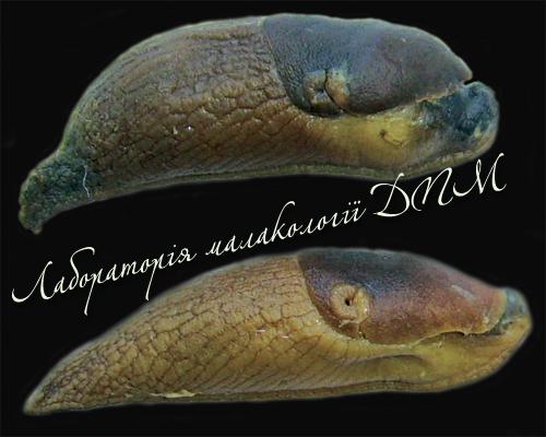 Deroceras caucasicum. Фотография 75