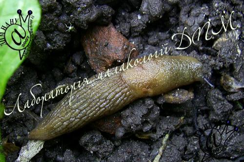 Deroceras caucasicum. Фотография 31