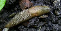 D. caucasicum. Фотография 32