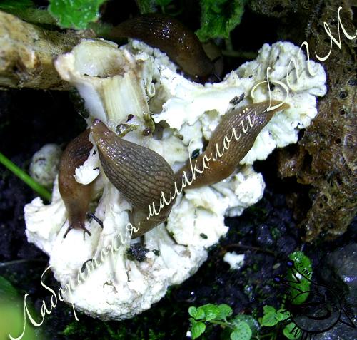 Deroceras caucasicum. Фотография 33