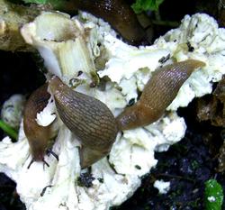 D. caucasicum. Фотография 34