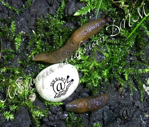 Deroceras caucasicum. Фотография 37