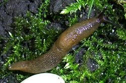 D. caucasicum. Фотография 38