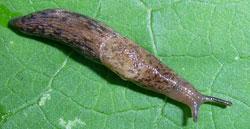 D. reticulatum. Фотография 13