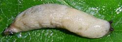 D. rodnae. Фотография 10