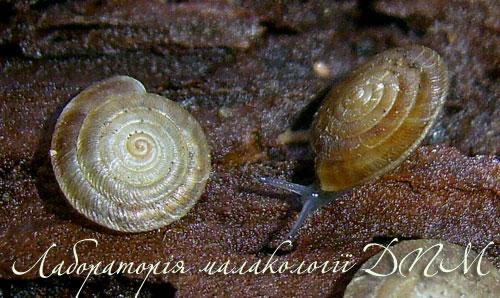 Discus perspectivus. Фотография 4