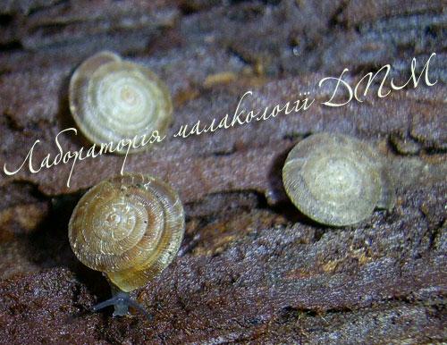 Discus perspectivus. Фотография 6