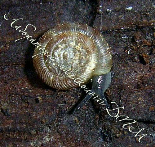 Discus rotundatus. Фотография 15