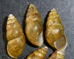 E. montana. Фотография 8